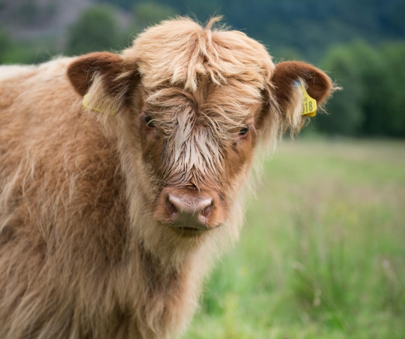 Highland Cows are to be discovered when you enjoy a Scottish Coach tour with Lochs & Glens.