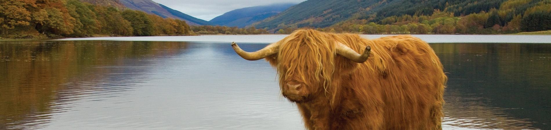 Highland Cow at Lochs and Glens Loch Achray Hotel.